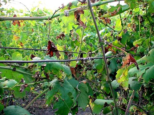 Профилактика оидиума на винограде. Защита винограда от оидиума