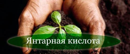 Применение янтарной кислоты в садоводстве и огородничестве. Янтарная кислота в огороде и в саду. Способы применения