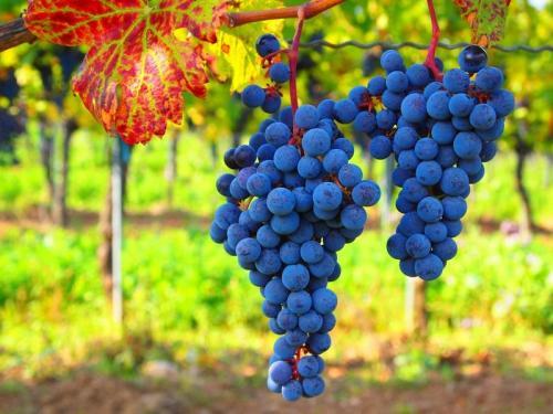 Как подвязать виноград. Как правильно подвязать виноград весной – фото и видео