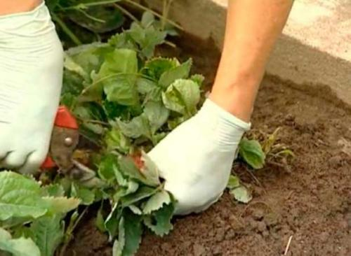 Как подготовить клубнику к зиме в сибири. Утепляем клубнику на зиму