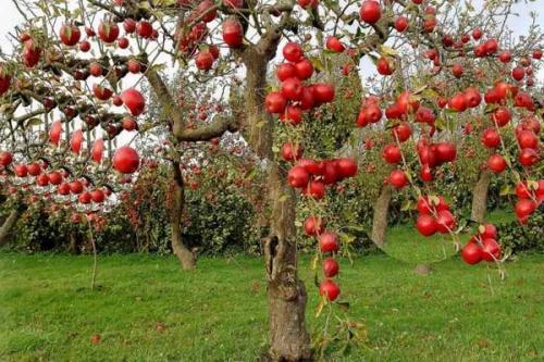 Лишайник на яблоне лечение. Средства борьбы против лишайника.