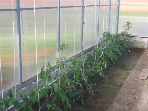 Выращивание помидоров в теплице из поликарбоната. Выращивание томатов