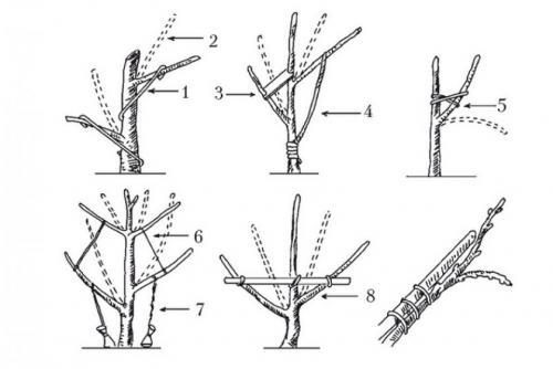 Формирование кроны у яблони. Самые распространённые ошибки при обрезании