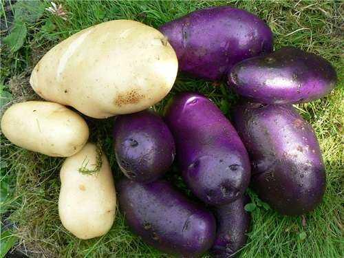Цыганка картофель. Картофель Цыганка: описание сорта, фото, особенности