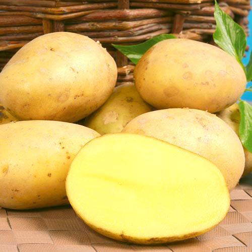 Сорт картофеля Ласунок. Описание сорта Ласунок