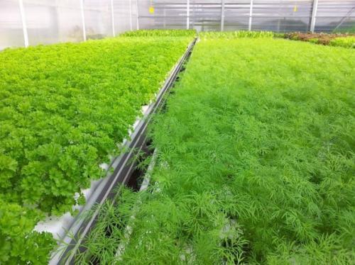 Что можно выращивать в теплице для бизнеса. Свежая зелень – рекордсмен потребительского спроса