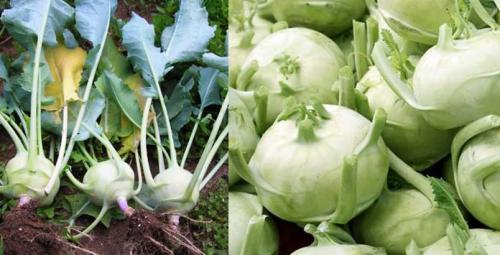Кольраби, как хранить. Как хранить капусту кольраби с пользой для меню и бюджета | Моя Кухня