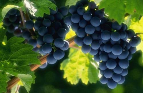 Как ускорить вызревание молодой лозы винограда.