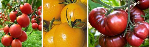 Новые сорта помидор. Урожайные сорта томатов для теплицы и открытого грунта