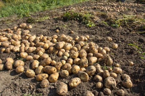 Где хранить картошку в квартире зимой. Как сохранить картофель от грядки и… до весны