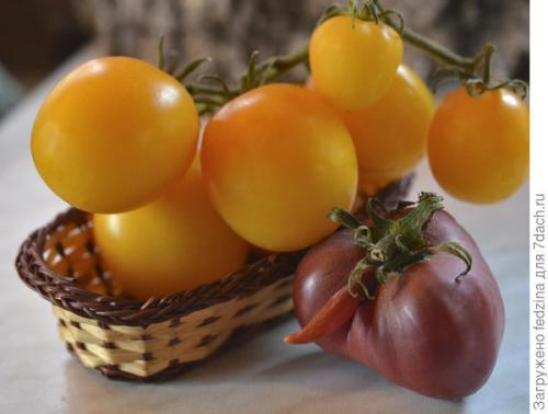 Томат Де Барао оранжевый. Де Барао оранжевый, или Золотые яйца в моей коллекции томатов