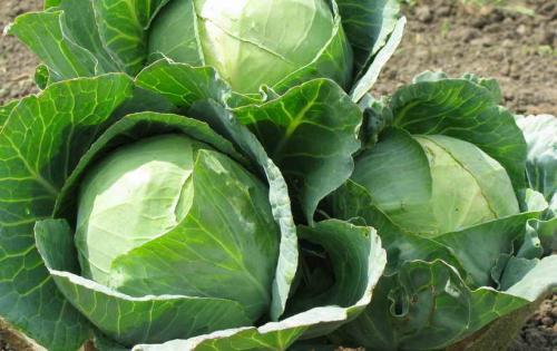 Когда убирать капусту. Убираем капусту с огорода по народным приметам. Благоприятный день для уборки капусты осенью 2019 года