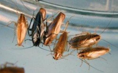 Тараканы, как рождаются. Как размножаются тараканы?