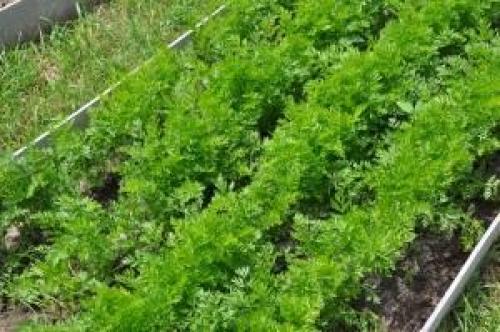 Как оставить морковь на зиму на грядке. Правила оставления на грядке