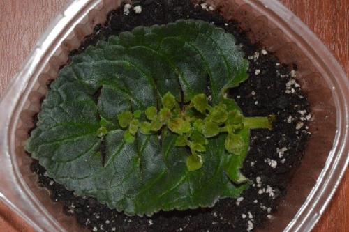 Глоксинии размножение листом. Частью листа