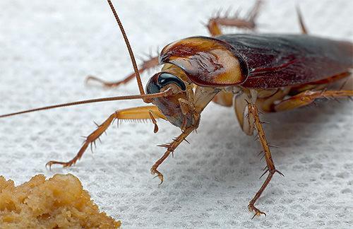 Народные средства борьбы с тараканами. Плюсы и минусы