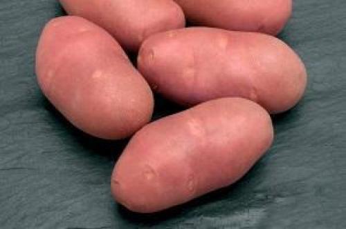 Картофель розара. Выращивание и уход