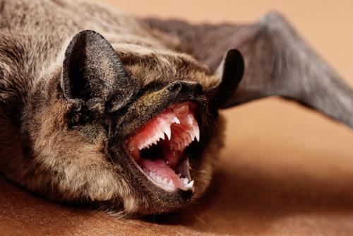 Летучие мыши, что едят. Видео «Интересные факты»