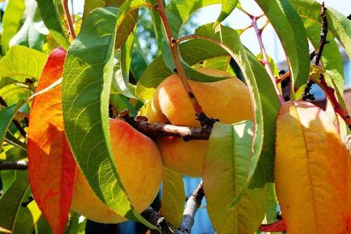 Персик, как укрыть на зиму. Правильная подготовка персика к зиме для получения хорошего урожая