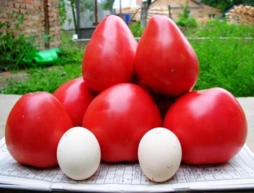Томаты Чудо. Томат Чудо земли: описание, отзывы, фото сорта помидоров тех, кто сажал, видео