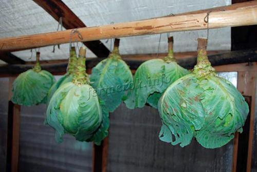 Хранение капусты в подвале на зиму. Лучшие способы хранения капусты в погребе