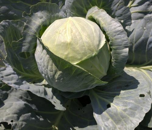 Какую температуру выдерживает капуста на грядке осенью. Когда убирать капусту с огорода? Как хранить кочаны зимой?