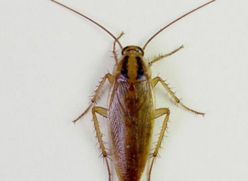 Сколько живут тараканы рыжие. Рыжий таракан прусак: внешний вид