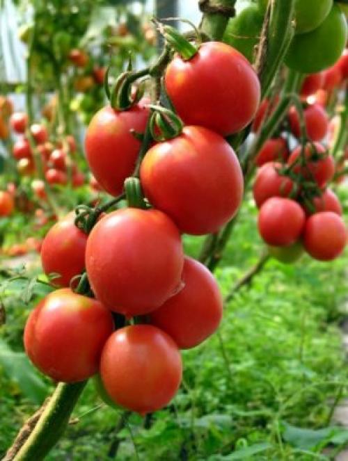 Семена де Барао. Описание и виды томата Де Барао