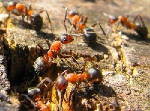 Что делают муравьи зимой. Как и где зимуют муравьи?