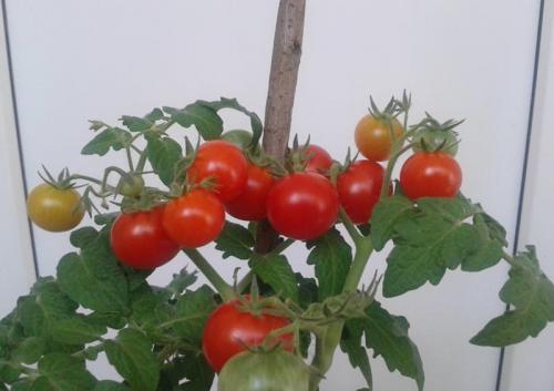 Теплица вырастить помидоры огурцы. Можно ли сажать томаты рядом с огурцами в теплице. Маленькие секреты