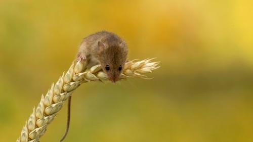 Что едят полевые мыши. Питание, размножение и потомство