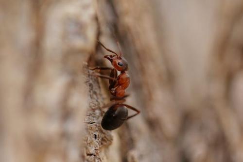 Матка лесного муравья. Образ жизни