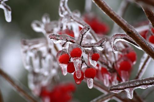 Можно ли замораживать боярышник. Заморозка плодов на зиму