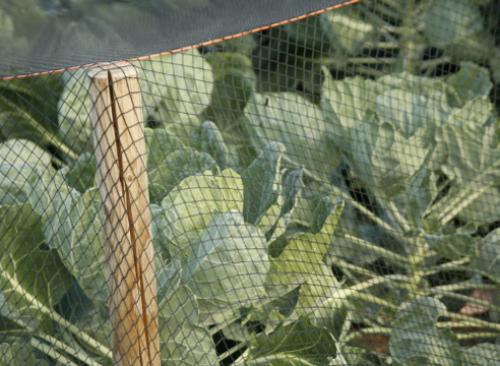 Сколько хранится вареная брюссельская капуста. Брюссельская капуста: выращивание и хранение