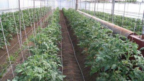 Как правильно посадить помидоры в теплице из поликарбоната. Подготовка семян к высаживанию