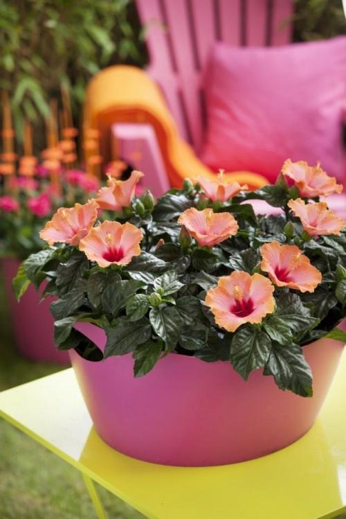 Гибискус цветет когда. Особенности выращивания гибискуса