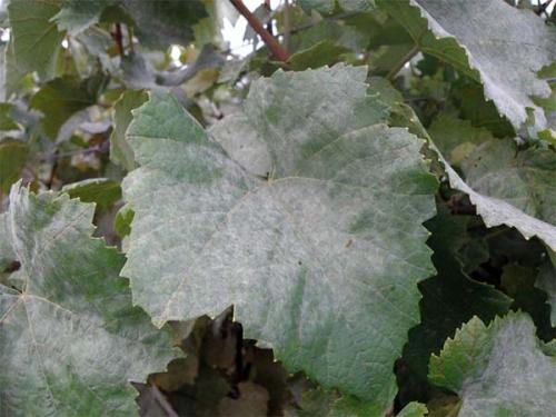 Эффективное средство от оидиума на винограде. Признаки мучнистой росы: как проявляется оидиум на винограде