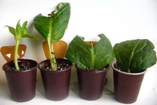 Как размножить глоксинию листом. Размножение глоксинии листом