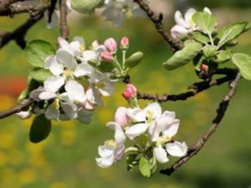 Как правильно посадить яблоню с прививкой. Инструкция, как правильно посадить яблоню весной