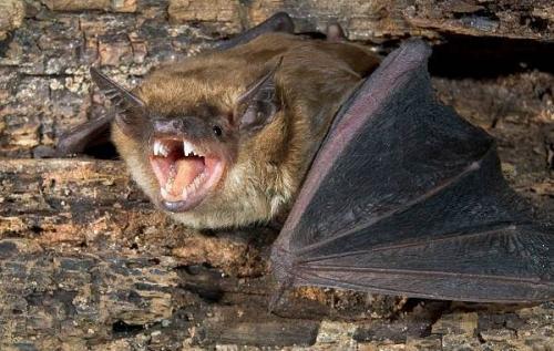 Летучая мышь виды. Описание и особенности