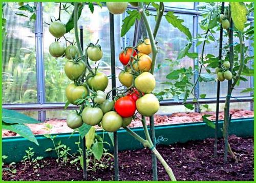 Пасынкование томатов в теплице схема. Пасынкуем среднерослые и низкорослые томаты