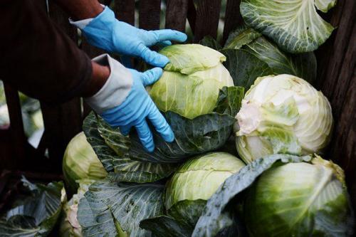 Когда снимают капусту на зиму. Когда убирать белокочанную капусту с огорода на зиму?