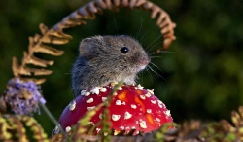 Чем питается полевая мышь. Где обитает полевая мышь?
