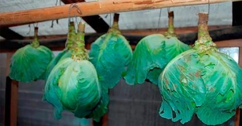 Как хранить разрезанную капусту в холодильнике. Место для хранения свежей капусты