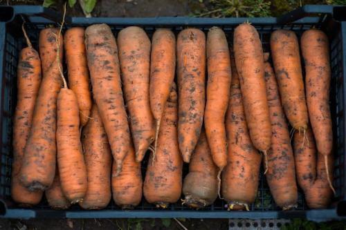 Морковь на хранение. Условия хранения