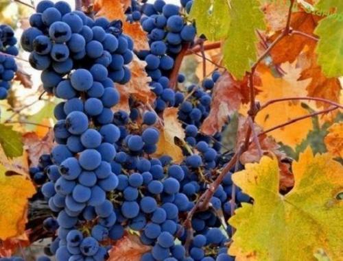 Чем обработать виноград осенью перед укрытием. Чем обработать виноград перед укрытием на зиму.