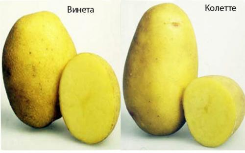 Картофель лимонка — описание сорта, характеристика, посадка и уход с фото