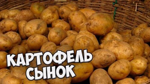 Посадка картофеля Сынок. Высокоурожайный сорт картофеля с отменным вкусом «Сынок»(Богатырь)
