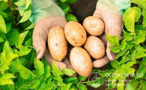 Картофель удача. Картофель «Удача»: описание сорта, фото и отзывы
