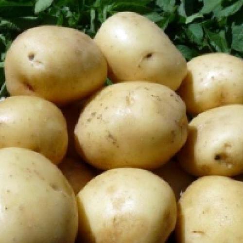 Картофель сорт галина. Сорт картофеля Гала: фото и описание
